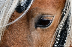 Close-up of Horse's Eye (manxmaid2000) Tags: horse eye lashes closeup brown chestnut mane pony forelock bridle harness hair