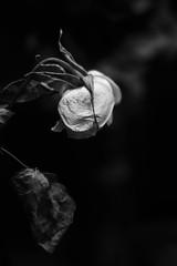 Rose (mellting) Tags: eskilstuna lägenheten nikond500 platser bloggad flickr instagram matsellting mellting nikkor5018 nikon sverige sweden rose rosa ros monochrome bnw blackandwhite