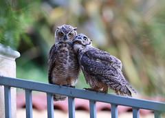 Great horned owl siblings (charlescpan) Tags: