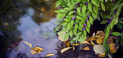 Purple berries at a canal (KaeriRin) Tags: 40mm14mc voigtlander sony alpha mirrorless a7m2 a7ii japan japanese garden traditional autumn green leaves park town city touristicspot tourism travel