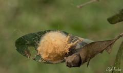 DSC_5599 (DigiPhotus) Tags: digiphotus insect insetos insectos inseto insekt insecte insetto insekten insekte insekter insectes insecten insektet insetti izimbali borboleta casulo serracatarinensebrasilamérica santaebelacatarina