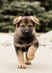 2019-03-02, Mel x Dezi Dark Blue Male-1 (Falon167) Tags: gsd germanshepherddog german shepherd dog puppy mel dezi melxdezi litter bessie puppies