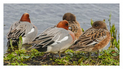Wigeon (m & f) (Anas penelope)  - 'Z' for zoom (hunt.keith27) Tags: wigeon mediumsized duck round head small bill chestnut with yellow forehead pink breast grey body males large white wing patch bird water distinguishedpictures