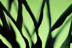 #TheFirstLetterofMySurname (aenee) Tags: aenee nikond7100 sigma105mm128dgmacrohsm abstract macromondays thefirstletterofmysurname green groen 3inch 65cm macro pse14 20190317 dsc0559
