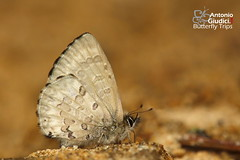 The Burmese Straight-wing Blue - ผีเสื้อฟ้าปีกตรงพม่า (Antonio Giudici Butterfly Trips) Tags: theburmesestraightwingblue ผีเสื้อฟ้าปีกตรงพม่า doiphahompok fang chiangmai thailand lycaenidae polyommatinae orthomiellapontispontis