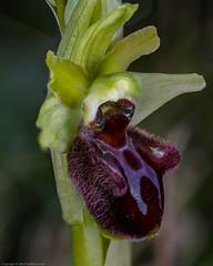 Early Spider Orchid (Ophrys sphegodes) (BiteYourBum.Com Photography) Tags: dawnandjim dawnjim biteyourbum biteyourbumcom copyright©biteyourbumcom allrightsreserved canoneos7d canonefs60mmf28macrousm apple imac5k lightroom5 ipadair appleipadair camranger lrenfuse focusstacking manfrotto055cxpro3tripod manfrotto804rc2pantilthead loweproprorunner350aw uk unitedkingdom gb greatbritain england dorset dancingledge jurassiccoast earlyspider orchid ophrys sphegodes earlyspiderorchid ophryssphegodes copyright©2019biteyourbumcom