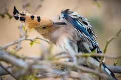 طائر الهدهد The Hoopoe (ebrahemhabibeh) Tags: