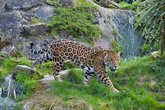 Jaguar (Panthera onca) (Seventh Heaven Photography) Tags: jaguar pantheraonca panthera onca threatened nearthreatened animal cat mammal feline nikond3200 chester zoo cheshire england carnivore