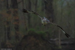 2019.04.06.8085 Comin' Right Atcha! (Brunswick Forge) Tags: 2019 virginia jamesriver richmond osprey water woods trees forest animal animals animalportraits outdoor outdoors bird birds raptor raptors wildlife nature cloudy rain spring nikkor200500mm nikond500 favorited commented