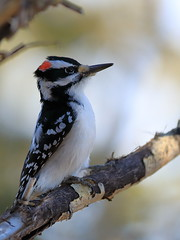 woodpecker (fred.colbourne) Tags: woodpecker bird wildlife tree alberta