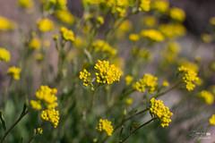 Авринія скельна (ucrainis) Tags: flower flowers yellow colorful beautiful spring close macro nature khortytsia flora floral botanical blooming aurinia
