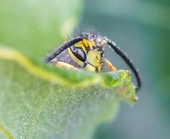 Bad News. (Omygodtom) Tags: tamron tamron90mm macro elitebugs bee yellowjacket wasp nature natural d7100 dof flickerfriday flickriver