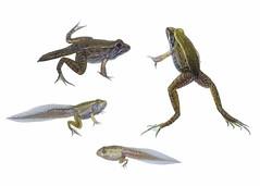 Southern Leopard Frog metamorposis (brian.magnier) Tags: southern leopard frog metamorphosis changing white myn meet your neighbors amphibian wildlife nature animals water aquarium wild macro environment