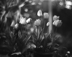 Tulips (Vidwatts) Tags: springflowers speedgraphic aeroektar fp4 perceptol11