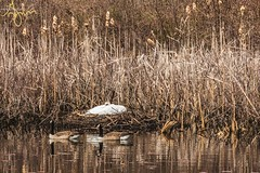 Walkabout_20190413-130912 (G-Mans Shadow) Tags: attleboro ma massachusetts como lake swan nesting eggs duck canadian geese marsh water tall grass mother father canon 77d ef70200 f4l
