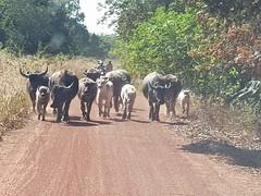 20190101_102436 (SierraSunrise) Tags: animals bosbubalis bovine dirt esarn isaan nongkhai phonphisai roads thailand unpaved waterbuffalo