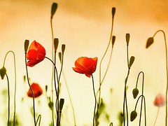 Poppies (Helen Orozco) Tags: poppies flowers sliderssunday hss photoshop