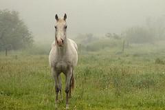Un caballo de un solo caballo (Helena de Riquer) Tags: cavall caballo baro provinciadelleida pallarssobirà 2018 natura nature naturaleza naturalesa animal paisaje paisatge landscape boira niebla natureza mist misty fog nebbia névoa nebel nevoeiro brouillard bruma cheval cavalo 馬 马 equusferuscaballus equus flickr