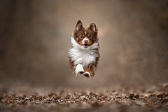 F O C U S E D (Audrey Bellot Photographie) Tags: dog aussie australian shepherd jump jumping flying action dogs animal autumn forest colors