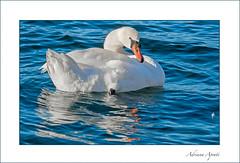 il cigno, the swan (adrianaaprati) Tags: swan bird white blue water lake reflection elegance beauty january winter