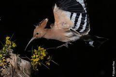 Abubilla (Upupa epops) Con barrera y flash. (Elprimodeheman) Tags: barreraav flash fotografia posadero abubillaupupaepops retrato bucerotiformes aves animales lugares con hide wildlife nature wildphotography bird birds