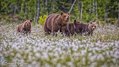 We are family (GunnarImages (Gunnar Haug)) Tags: cub smile cute mammal nordic brown bearcub brownbear wildlife love forest tree green cottongrass finland swamp landscape