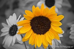 A Splash of Color (PhillipLuisPhotography) Tags: colorsplash sunflower
