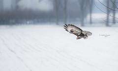 Mud-mover (Ingeborg Ruyken) Tags: sneeuw buizerd january empel orning instagram 500pxs winter birdofprey commonbuzzard natuurfotografie januari ochtend flickr snow