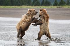 _HB32602 (Hilary Bralove) Tags: lakeclarknationalparkbrownbearsbearsalaskanikonwildlifegrizzlygrizzlybearbrownbearanimalswildlifephotographer alaksa brownbears grizzlybears bear bears grizzly brownbeargrizzly bearlake clarkwildlifealaska wildlifenikonlake clark national park