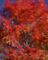 Windy Maple_27A7202_7206 (Alfred J. Lockwood Photography) Tags: alfredjlockwood nature landscape mapletrees wind windy leaves red color afternoon autumn autumnalcolor autumncolor fallfoliage fallcolor vassalboro maine flora