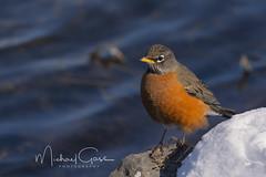 Robin Close Up (NikonDigifan) Tags: birdwatching bird robin nature naturephotography wildlifephotography wildlife turnbullnationalwildliferefuge wildliferefuge mikegassphotography winter snow