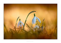 Schneeglöckchen (Marcus Hellwig) Tags: schneeglöckchen frühling frühblüher galanthus blüte blume natur nature makro macro brown white lichtstimmung