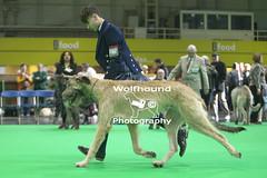 img_9999_58 (HoundPhotographer) Tags: irishwolfhound wolfhound hound crufts crufts2019 showdog dogshow