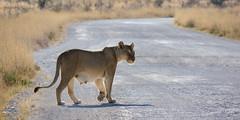 Lioness crossing (jameshjschwarz) Tags: africa afrika etosha etoshanationalpark lion lioness lumixgvario4056100300 lumixgh2 löwe löwin m43 mft namibia safari oshikoto na