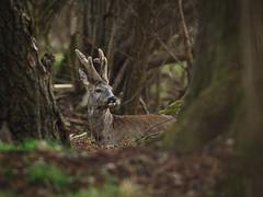 rogacz1603 (jarek.pretorius) Tags: sarna rogacz roe roedeer roebuck wild nature wildphoto wildlife animal las forest