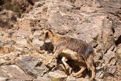 Berber goat - Setti Fatma, Ourika Valley, Atlas Mountains, Morocco-2 (Nature21290) Tags: artiodactyla atlasmountains bovidae capraaegagrus capraaegagrusssphircus february2019 goat mammalia morocco ourika settifatma