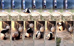Tian Tian (Watching my keepers put out my treats makes me thirsty. I see that biscuit ball–step lively with my boo so you can open my gate. Yup, chef made the biscuits just how I like them. Hey Mei, you got some good eats too?) 2019-03-24 at 7.30.46–.39AM (MyFoto:)) Tags: ccncby panda endangered vulnerable tiantian smithsonian nationalzoo drinking eating biscuit howdywindow