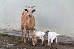 Goat delivery (fgvekemans) Tags: lamb dushi goat love delivery nature diereninhetwild lente spring younglamb korsoutadushi geit animal