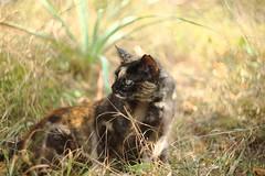 IMG_3631 Lola, Mallorca (Fernando Sa Rapita) Tags: mallorca sarapita lola cat gata mascota pet canon canoneos eos6d helios helios44m