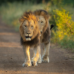 Kings of the Road (Wim Hoek) Tags: mammals wildlife man outdoor safari leeuw zimangagamereserve afrika africa diereninhetwild lion pantheraleo uphongolonu kwazulunatal southafrica za