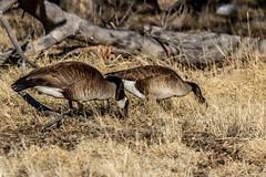 A-6060 (markbyzewski) Tags: baldeagle raptor deer canadagoose bird prairiedog rabbit rockymountainarsenalnationalwildliferefuge denver colorado