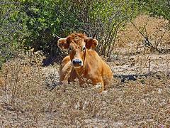 Vache Corse (Arnadel) Tags: calvijuillet2011 corse vache dairy corsica