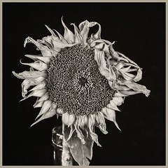 Sunflowers #11 2019; Drying Up (hamsiksa) Tags: plants flora vegetation flowers blooms blossoms plantreproduction plantsex sunflowers asteraceae helianthus blackwhite botanicals stilllife stilllifes