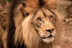 Lion-Male 3-0 F LR 4-9-19 J190 (sunspotimages) Tags: lion lions wildlife nature zoo zoos nationalzoo bigcat bigcats cat cats
