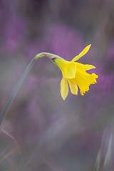 daffodil (englishgolfer) Tags: