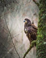 Young Eagle (jeanmarie's photography) Tags: washingtonstate wildanimal birdofprey wildbird nikon nature eagle bird jeanmarieshelton