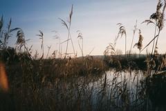 Ham Wall reeds, lensflare (knautia) Tags: january 2019 footpath film ishootfilm olympus xa2 olympusxa2 fuji superia 400iso naturereserve hamwall somserset rspbhamwall birdsanctuary rspb avalonmarshes reedbed uk