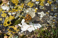 Lasiommata megera (esta_ahi) Tags: huesca lasiommata megera lasiommatamegera mariposa papallona butterfly nymphalidae lepidoptera insectos fauna liquen líquenes lichen hozdebarbastro somontano somontanodebarbastro aragón spain españa испания