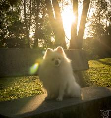 Sunburst Pommie (tracetam_travels) Tags: pomeranian dog pet park grass tree bench morning sunrise sunburst sunrays sunlight kentridgepark singapore tttravels