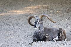 Bharal (Cloudtail the Snow Leopard) Tags: blauschaf tier animal mammal sheep schaf bharal nahur pseudois nayaur ziege naur himalayan blue tierpark berlin